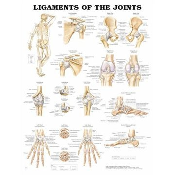 Leddenes ligamenter lamineret plakat engelsk (Ligaments of the joints)