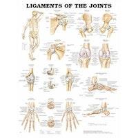 Lamineret plakat om leddenes ligamenter på engelsk
