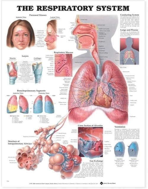 Åndedrætssystemet lamineret plakat engelsk (The Respiratory System)