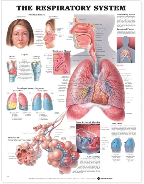Lamineret plakat om åndedrætssystemet på engelsk