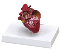 Hundehjerte med hjerteorm præsenteret på en stander