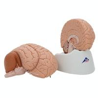Enkel hjernemodel med et mindre naturtro udseende. Kan adskilles i 2 dele