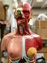 Komplet torso med 27 udtagelige dele, åben ryg, muskler, et foster og udskiftelige kønsorganer