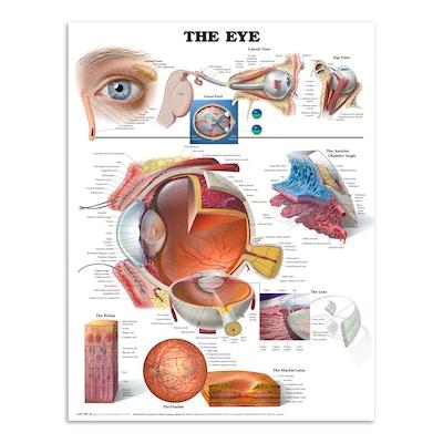 Plakat om øjets anatomi på engelsk