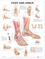 Plakat om anklen & foden på engelsk