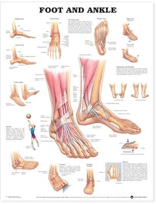 Fot & ankel (plakat på engelsk) (Foot and Ankle)