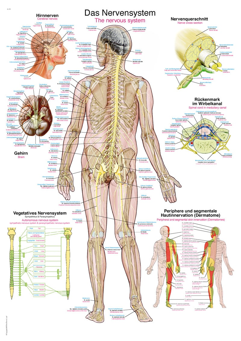 Nervesystemet plakat på engelsk, tysk og latin