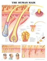 Människans hår laminerad affisch engelsk (Human hair)