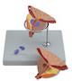 Pædagogisk og forstørret model af prostata (blærehalskirtlen), lidt af urinrøret og lidt af urinblæren