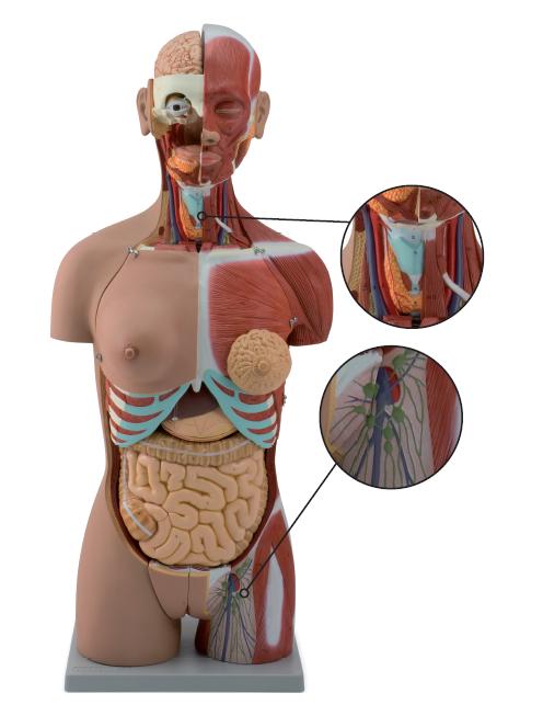 Avanceret torsomodel med 28 dele