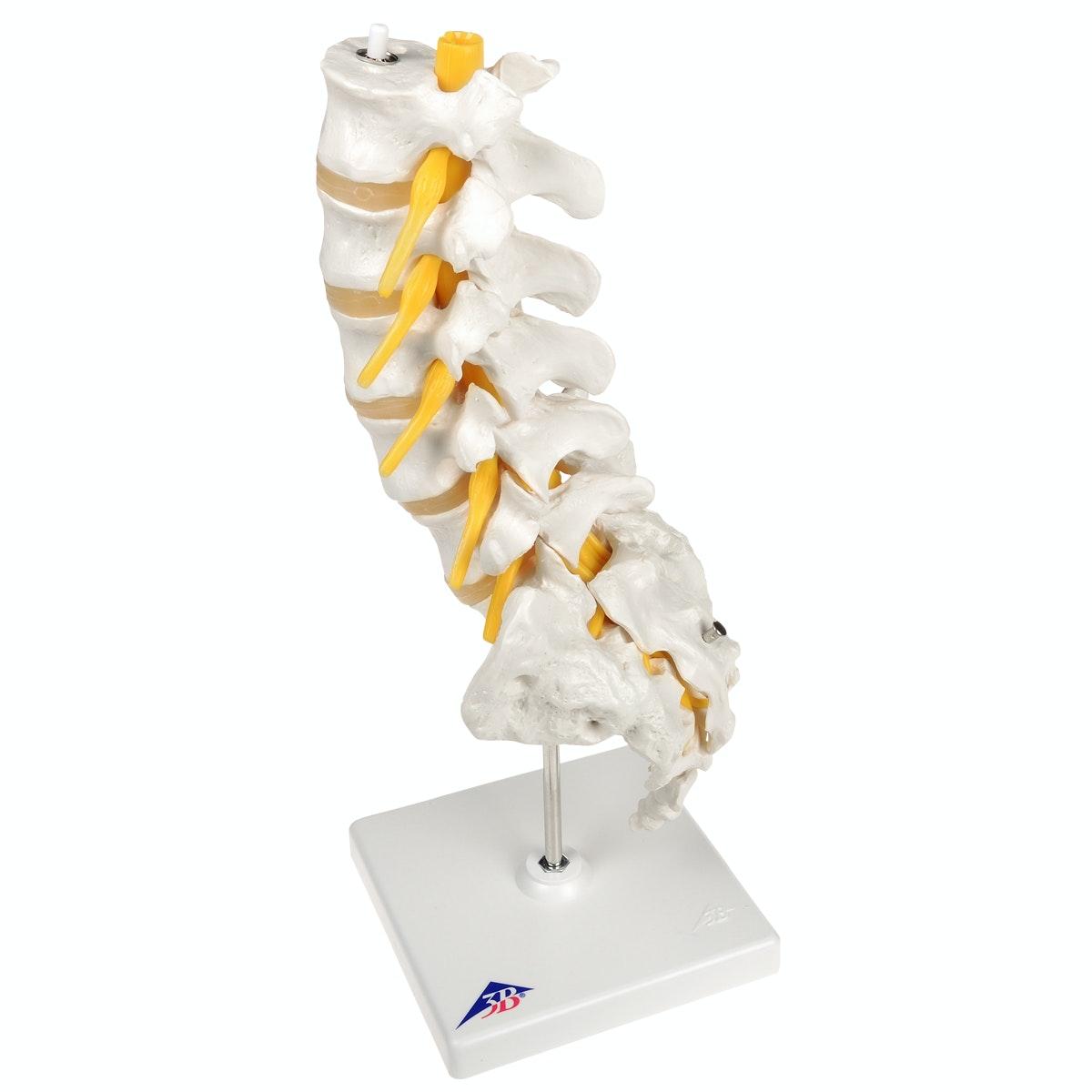 Fleksibel model af lænden, korsbenet og halebenet med nerver