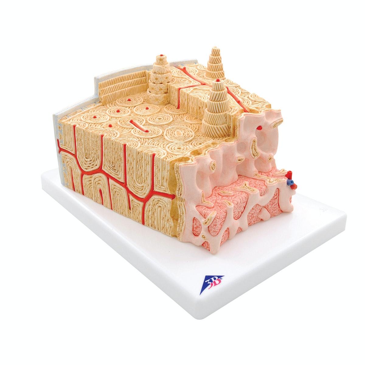 Detaljeret model af knoglevæv inkl. blodkar i et mikroskopisk perspektiv