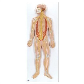 Nervesystemet i 1/2 x normalstørrelse, reliefmodel