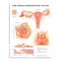 Kvinnelige kjønnsorganer, plakat på engelsk