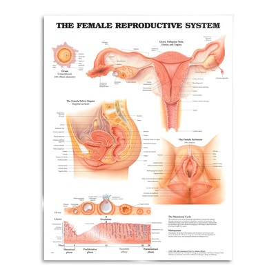 Plakat om kvindens kønsorganer med tekst på engelsk