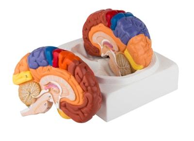 Enkel hjernemodel med de vigtigste områder i pædagogiske farver. Kan adskilles i 2 dele