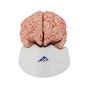 Hjernemodel der også viser arterier. Kan adskilles i 9 dele