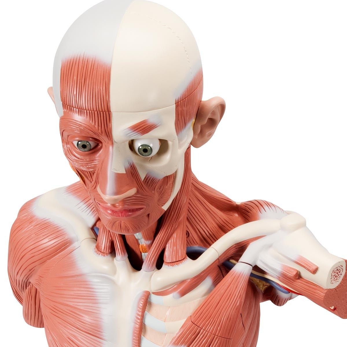 Muskelmodeller