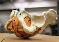 Fleksibel bækkenmodel som viser musklerne i bækkenbunden og relaterede væv hos kvinden