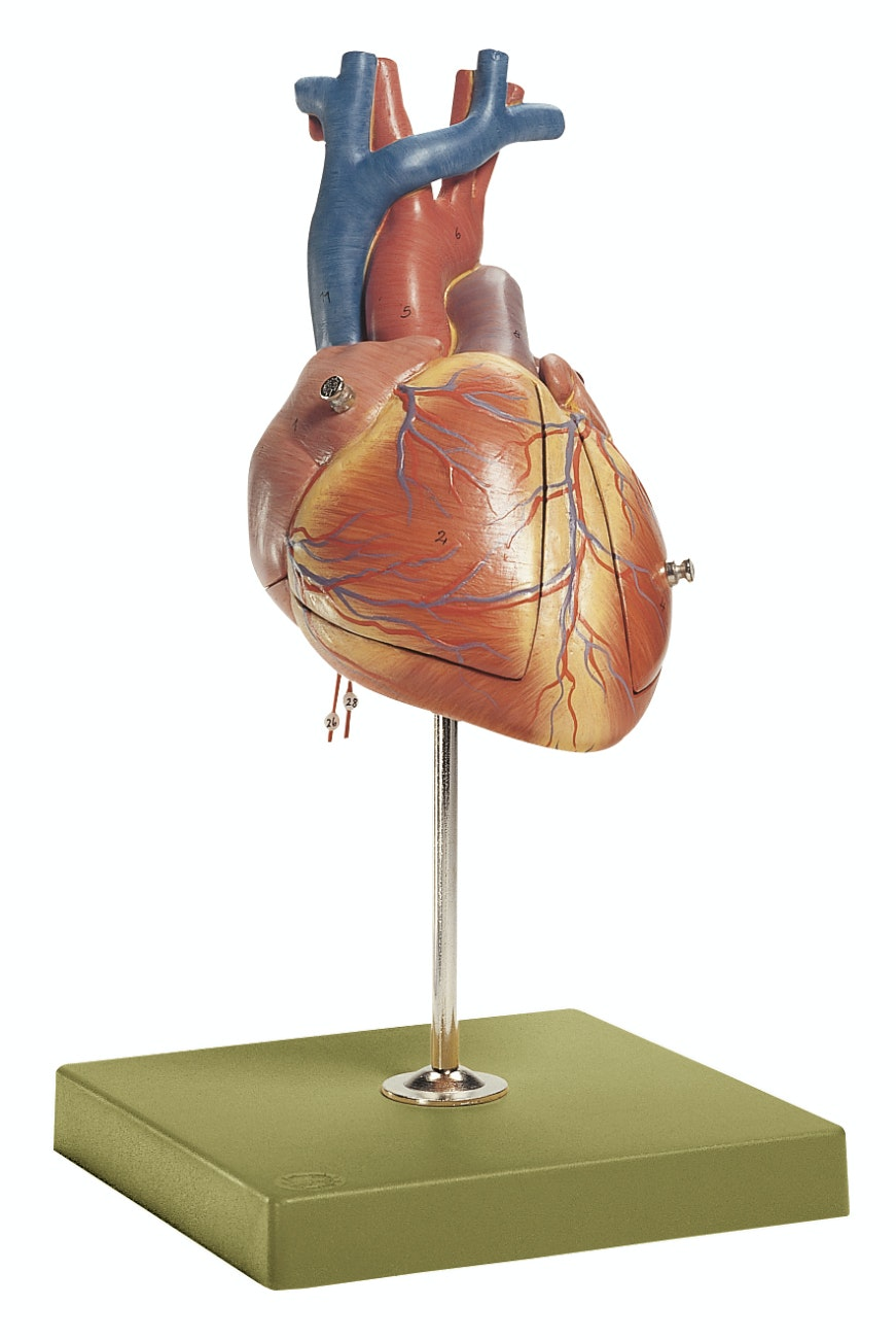 FORSTØRRET hjertemodel af et foster-hjerte