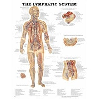 Lymfesystemet lamineret plakat engelsk