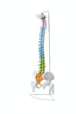 Fleksibel model af farveinddelt rygsøjle med nerver, knogler m.m. præsenteret på stativ
