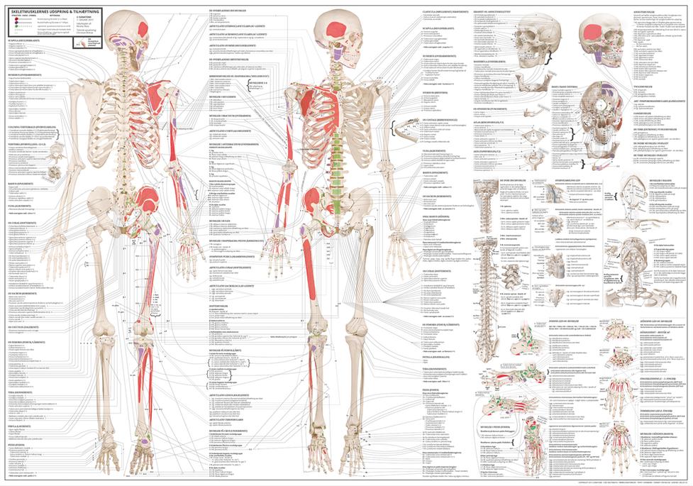 Bevegelsesapparatets anatomi på norsk & latin