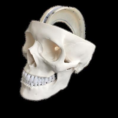 Kraniemodel Inkl. de durale septa som eksempelvis falx cerebri fra dura mater