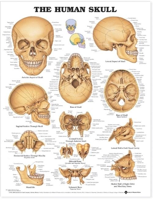 Kraniet lamineret plakat engelsk (The Human Skull)