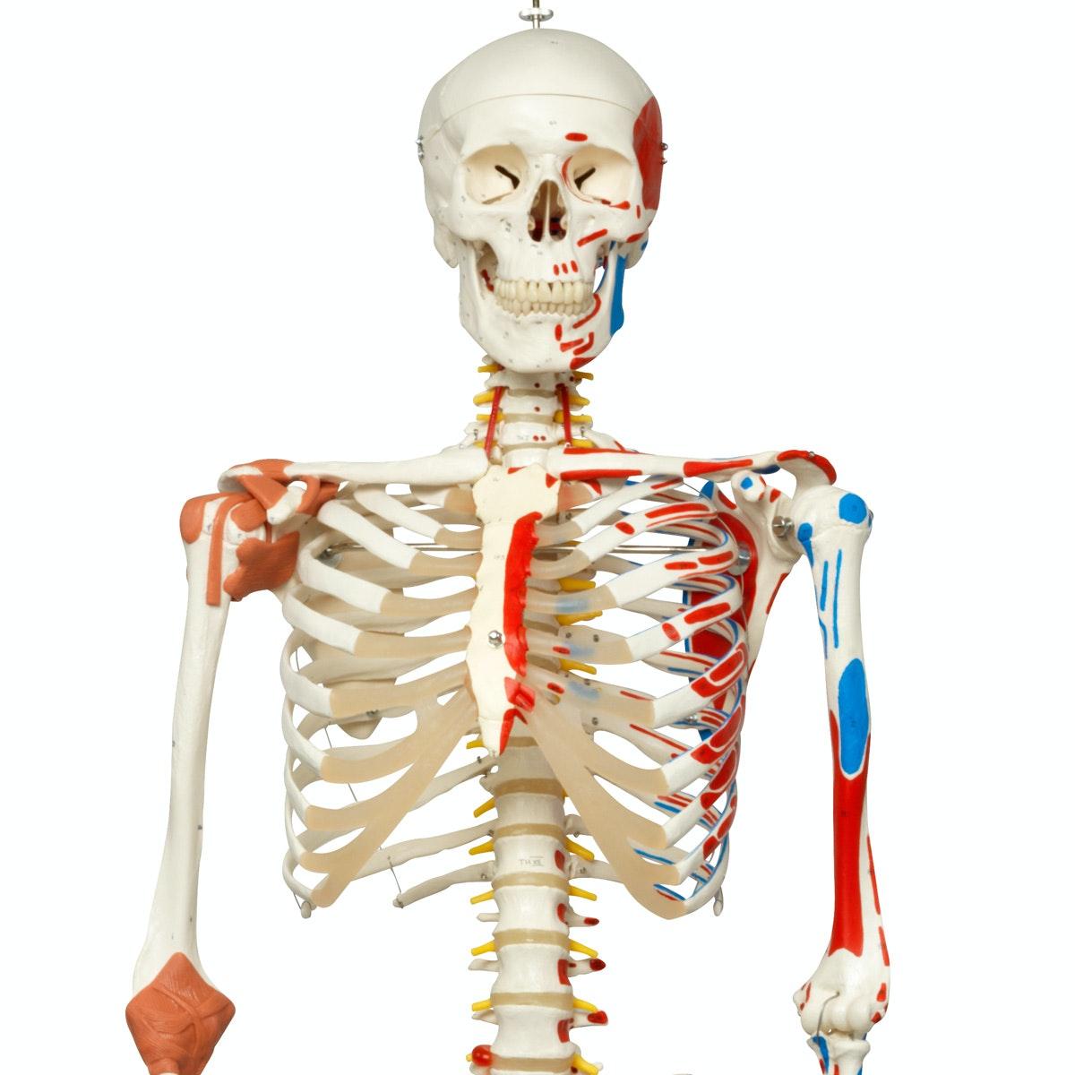 Hele skeletmodeller