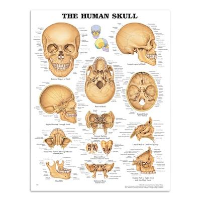 Plakat om kraniets anatomi på engelsk