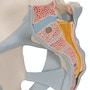 Mandlig bækken skeletmodel med ledbånd