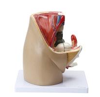 Model af de indre og ydre kønsorganer samt relationer til andre organer/væv hos kvinden