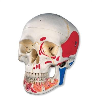 3-delt kranie med åben kæbe, muskulaturangivelser, nummerering og optegning