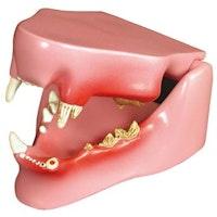 Kattkäke med friska och sjuka tänder