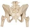 Bækken med bevægelige SI-led og femurhoveder