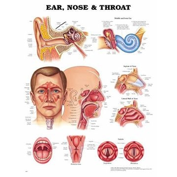 Plakat om øre, næse og hals på engelsk