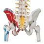 Fleksibel model af rygsøjlen med nerver, muskelangivelser og andre knogler UDEN STATIV