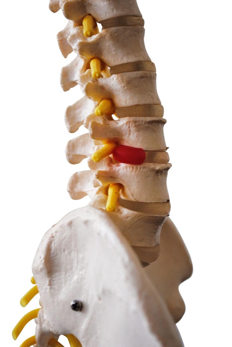 Formindsket model af rygsøjlen med nerver og andre knogler præsenteret på stativ