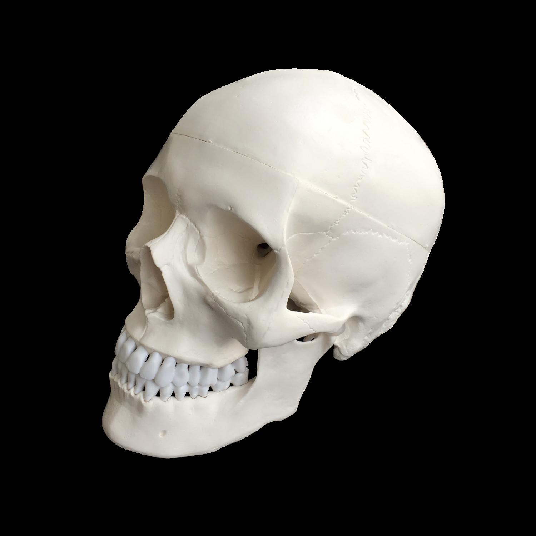 Kraniemodel inklusiv dura mater, falx cerebri og tentorium
