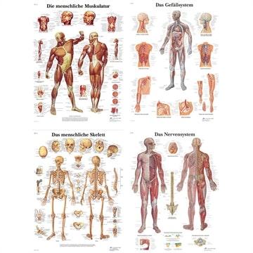 4 plakater muskulatur skelet kar- nervesystem med ren latin