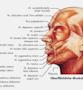Laminerad muskelplansch på latin (tysk överskrift)