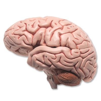 Hjerne i kranie i naturlig størrelse ialt 8 dele