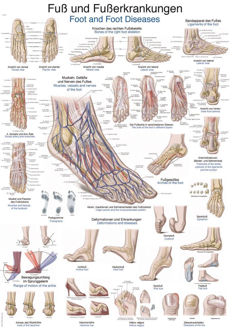 Fodplakat anatomi og sygdomme på tysk og engelsk