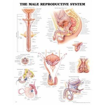 Mandlige kønsorganer lamineret plakat engelsk (Male reproductive system)