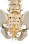 BONElike rygsøjle af 5 årigt barn (børnerygsøjle)
