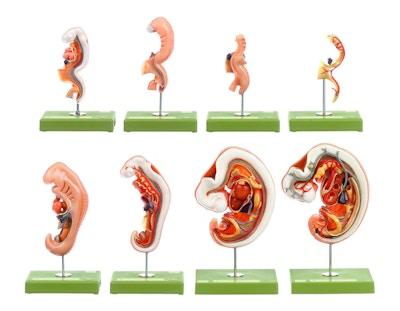 SOMSO Model af foster anatomi