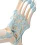Model af fodens skelet med ledbånd og akillessenen samt lidt af skinne- og lægbenet