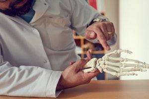 Skeletdel som viser hele højre arm med et meget bevægeligt skulderled (inkl. skulderblad og kraveben)