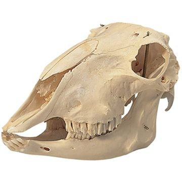 Fårekranie (Ovis aries)